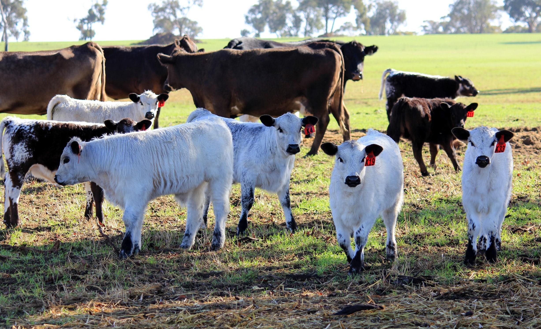 Embroyo Calves 2014